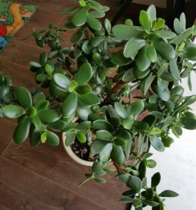 Денежное дерево ( толстянка)