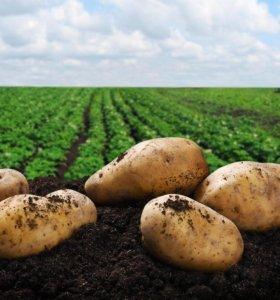 Сбор картошки на полях
