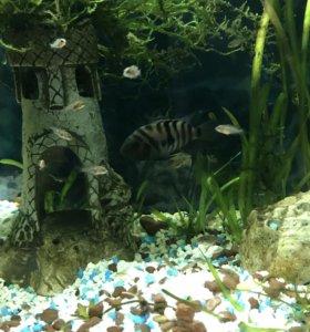 Рыбки чернополосые цихлозомы
