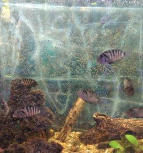 Рыбки чернополосые цихлиды