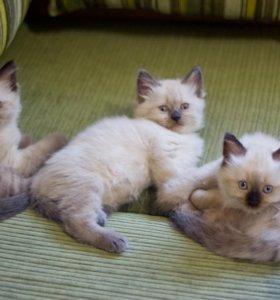 Привитые «невские маскарадные» котята