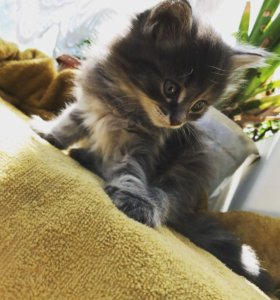 Котята от домашней кошечки.