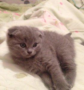 Котёнок шотладнский вислоухий