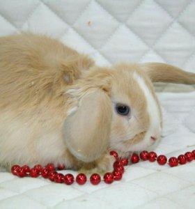 Кролик вислоухий, привит. Есть клетки