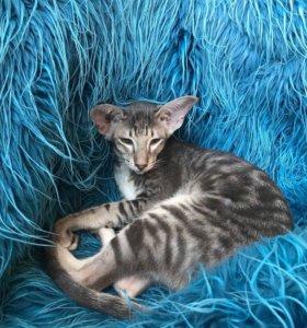Продаются Ориентальные и сиамские котята