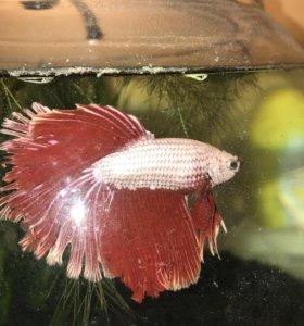 Петушок с аквариумом