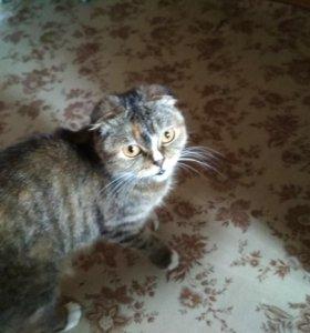Котята с согнутыми ушами