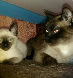 Тайские котятки