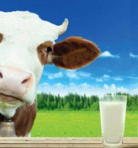 Коровье молоко обмен.