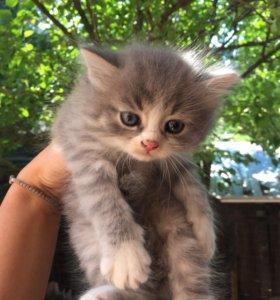 Котята в дар от мраморной британки