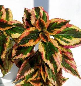 Колеусы разные и др. комнатные растения