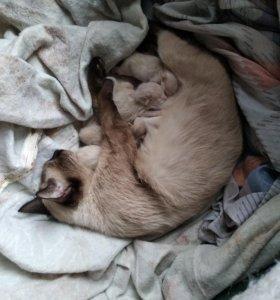 Бронируем чистокровных сиамских котят