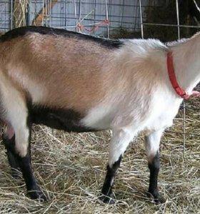 Продам коз!