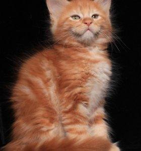 Котята Мейн-кун из питомника.
