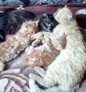 Котята-мальчики,2 мес