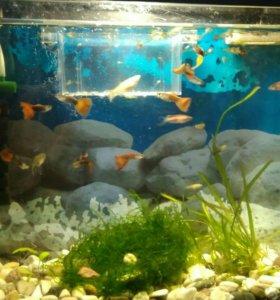 Рыбки гуппи, мальки и взрослые!