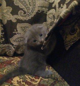 Шотландский котенок ищет дом