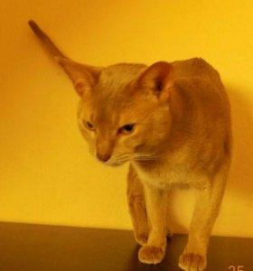 Абиссинский котик Фавн.