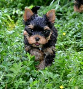 Очаровательные щеночки йоркширского терьера