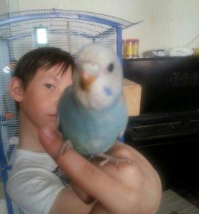 Ручные малыши волнистого попугая