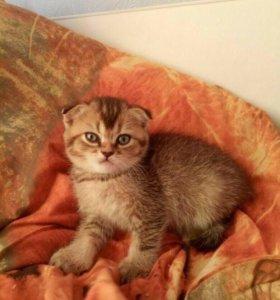 Продам котёнка шотландской породы