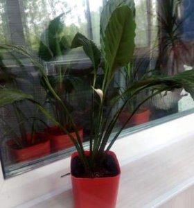 Комнатное растение спатифиллиум