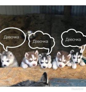 Продам щенков Сибирской хаски. Возраст 1 месяц.