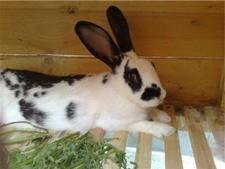 Кролик от 5 месяцев-1 года