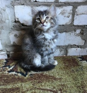 Метис Ангора-персидской кошки
