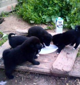 Щенки русско европейской лайки от рабочих собак