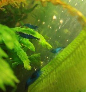аквариумные Синие креветки Блю Дримс