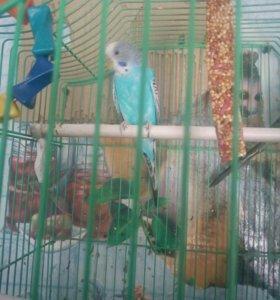 Волнистый попугай!