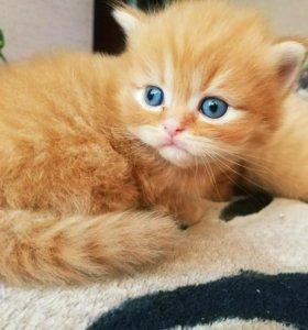 Британские котята ждут хозяев