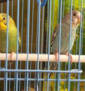 Волнистые попугаи.