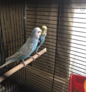Пара волнистых попугаев с клеткой