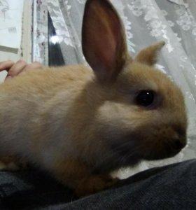 Дикоративный кролик, девочка ❤