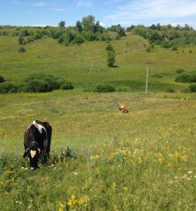 Продаю тёлочку и корову голштинской породы