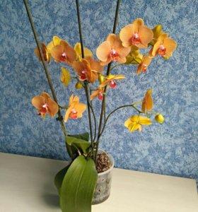 Орхидея фаленопсис оранжевая
