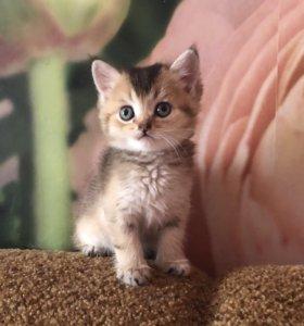 Британский котик золотого окраса. Питомник