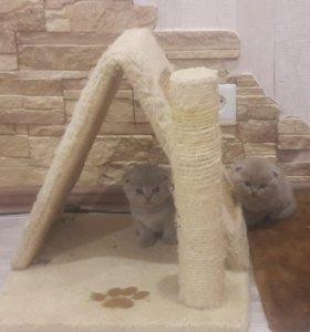 Котики бриташки