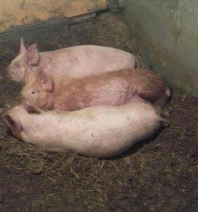 Две свиньи 1кабан