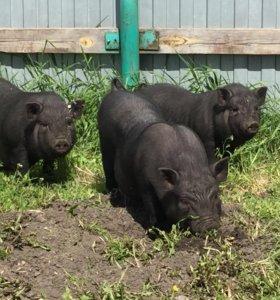 Продам поросят вьетнамской вислобрюхой свиньи