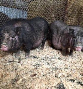 Продам боровков вьетнамской вислобрюхой свиньи