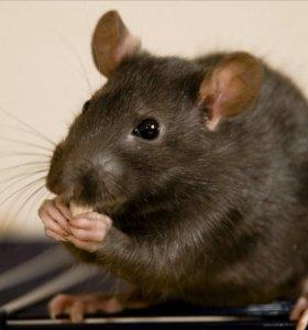 Крыски дамбо черный и агути+клетка,принадлежности