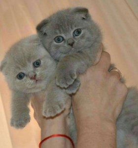 Чистокровные британские котята