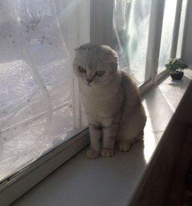 Шотланский вислоухий котёнок