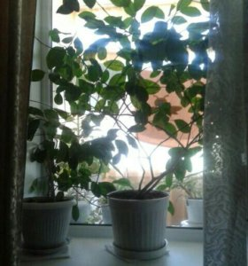 деревья плодоносящих лимонов