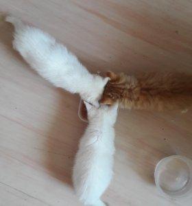 Белоснежные котята и рыжий котик
