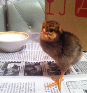 Цыплята цветные 1.5 мес