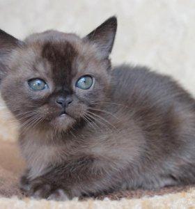 Европейская бурма соболиный котик